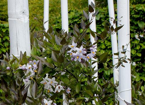 Solanum jasminoides - faux-jasmin 2bis10