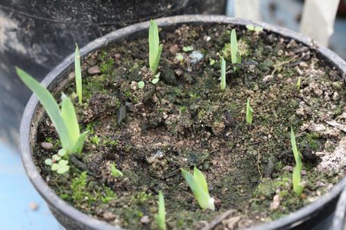 semis d'Iris 2heami10