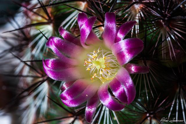 Mammillaria microhelia 2melo10