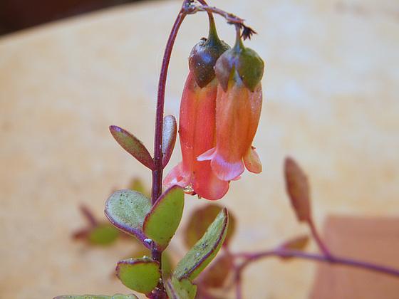 Bryophyllum 'Tessa' (= Kalanchoe 'Tessa') 2melu10