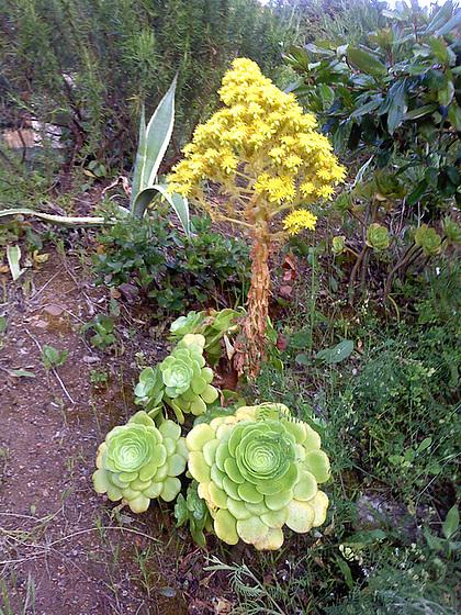 Aeonium arboreum 2melu11