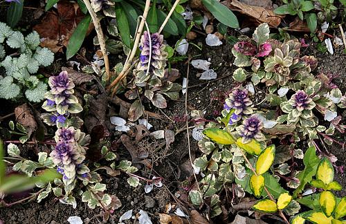 Ajuga reptans - formes horticoles de bugle rampante 2neir11