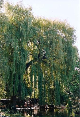 Salix - groupe babylonica et matsudana - saules pleureurs et tortueux  2neir12