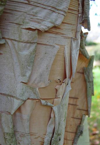 Betula utilis 2ness10