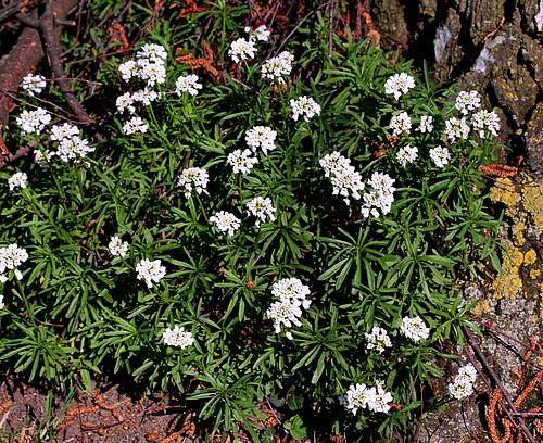 Iberis semperflorens - ibéris toujours fleuri 3-neir11