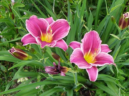 Hemerocallis - des variétés 30-mea10
