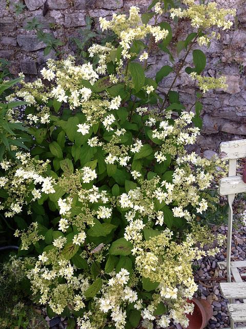 Hydrangea arborescens 'Hayes Starburst' 3102