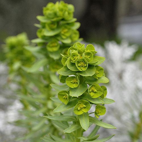 Euphorbia linifolia - euphorbe à feuille de lin 315