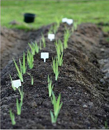 semis d'Iris 3156