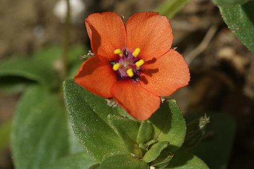Lysimachia arvensis (= Anagallis arvensis) - mouron des champs 316