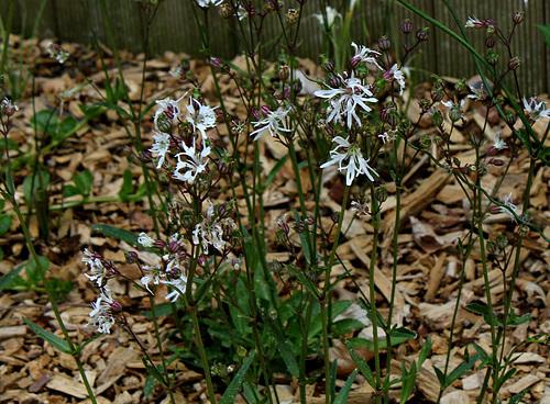 Silene flos-cuculi 'White Robin' (= Lychnis) - lychnis fleur de coucou blanc  3185
