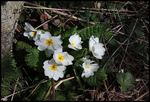 Primula vulgaris - primevère commune, primevère acaule 3198