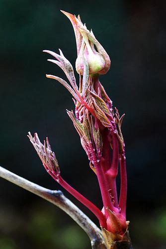 Paeonia - pivoines herbacées 32-ser10