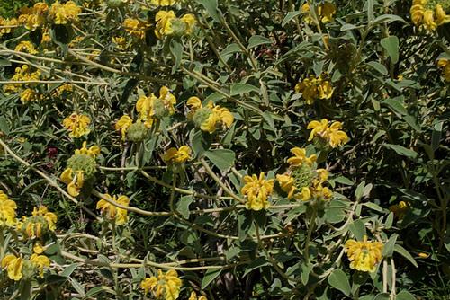 Phlomis fruticosa - sauge de Jérusalem, phlomis arbustif 3204