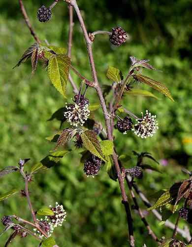 Broussonetia kazinoki (= Broussonetia monoica) 3205