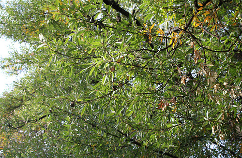 Quercus libani - chêne du Liban 3207