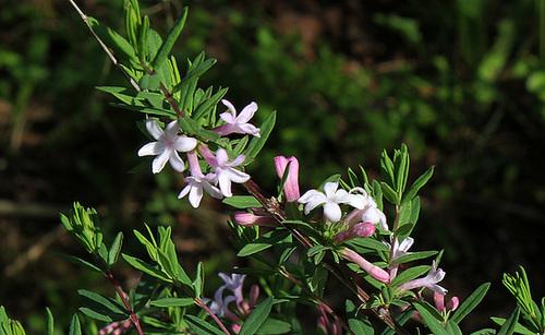 Lonicera rupicola var. syringantha (= L. syringantha) 3208