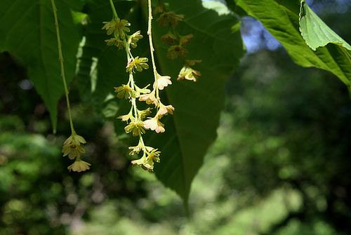 Acer davidii - érable de David, érable serpentine  3209