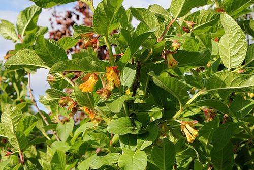Lonicera involucrata ssp. ledebourii (= Lonicera ledebourii) 3221