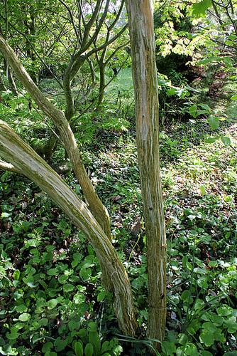 Acer capillipes  3222