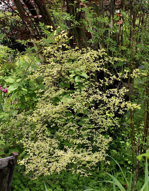 Ulmus parvifolia (= chinensis) - orme de Chine 3226
