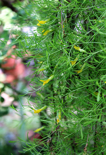 Caragana arborescens 'Pendula' - caraganier de Sibérie   3227