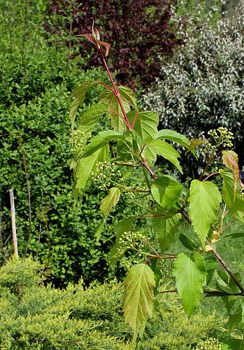 Acer ginnala et Acer tatarica ssp ginnala - érable de Tartarie  3229
