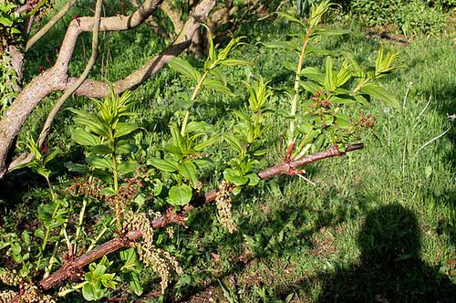 Coriaria - corroyère - genre et espèces 3234