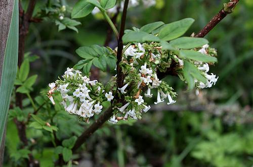 Syringa pinnatifolia 3235