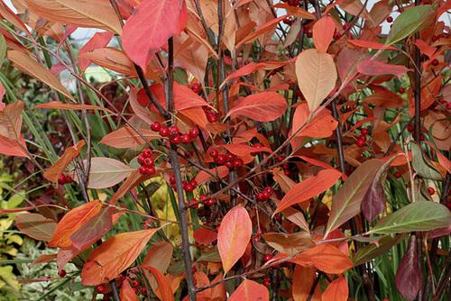Aronia arbutifolia 'Brilliant' 3236