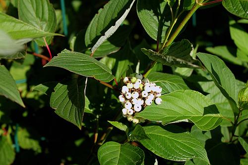 Cornus alba - cornouiller blanc 3237