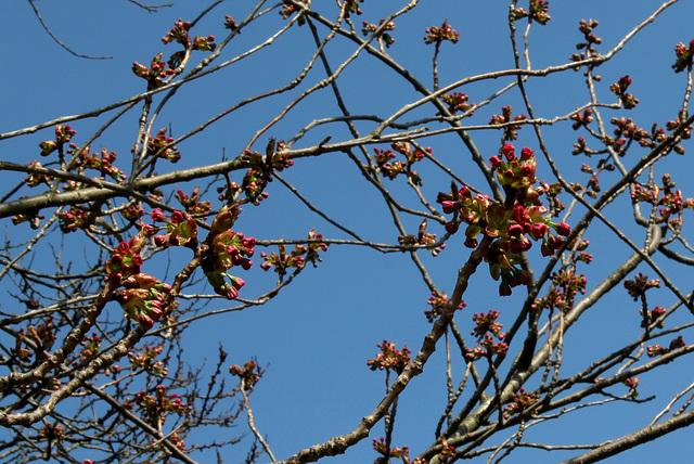 Prunus serrulata - cerisiers à fleurs du Japon 3239