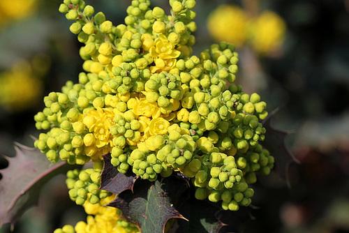Mahonia x wagnerii (aquifolium x pinnata) 3241