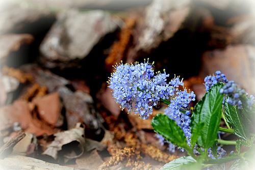 Ceanothus thyrsiflorus var. repens - céanothe à fleurs en thyrse rampant 3242