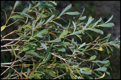 Salix purpurea - saule pourpre, osier rouge 3243