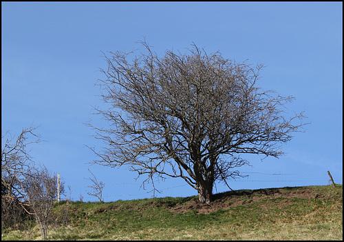 Prunus spinosa - prunellier, épine noire 3245