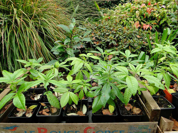 Piptanthus nepalensis 3246