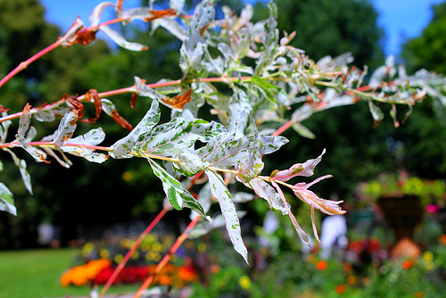 Salix integra 'Hakuro-Nishiki' - saule crevette 3249
