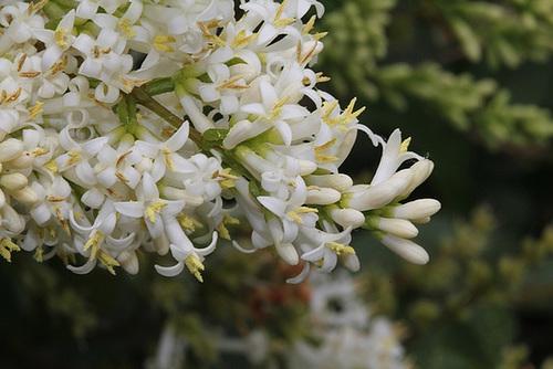 Ligustrum vulgare - troène commun 3254