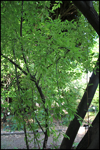 Elaeagnus multiflora - chalef multiflore, goumi du Japon 3258