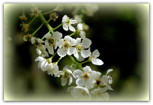 Prunus padus - cerisier à grappes - espèce et cultivars  3259