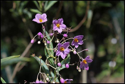 Solanum glaucophyllum - solanum à feuilles glauques 3261