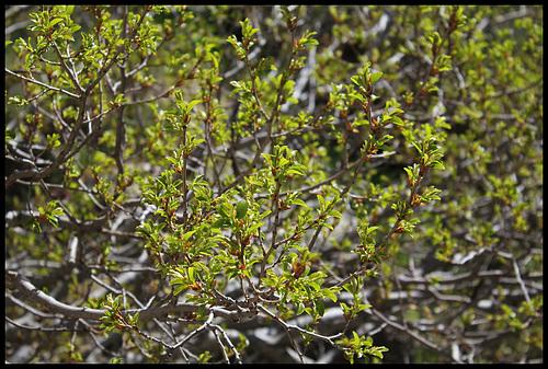 Frangula alnus (= Rhamnus frangula) - bourdaine 3262