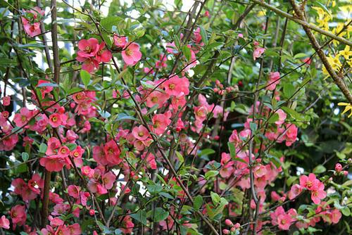 Chaenomeles japonica - cognassier du Japon et hybrides  3264