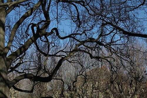 Quercus pedonculatus - chêne pédonculé 3267