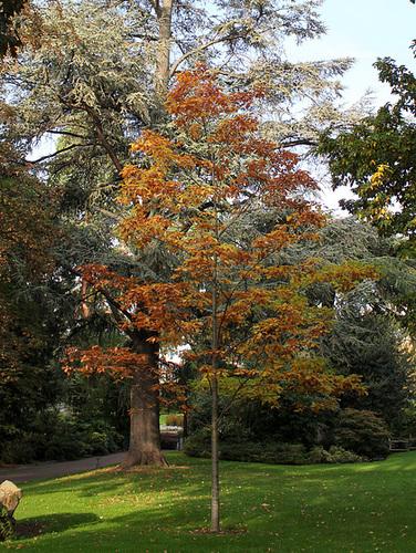 Quercus rubra, Quercus coccinea, Quercus palustris - chênes rouges américains 3269