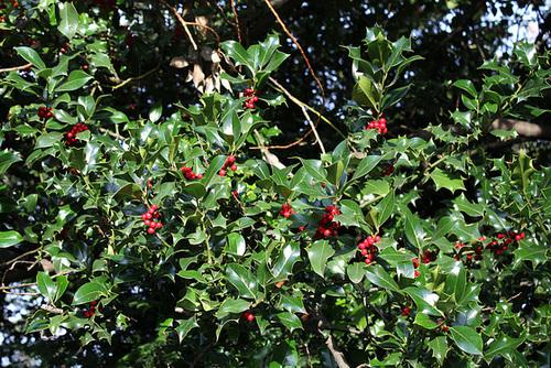 Ilex aquifolium - houx commun  3271