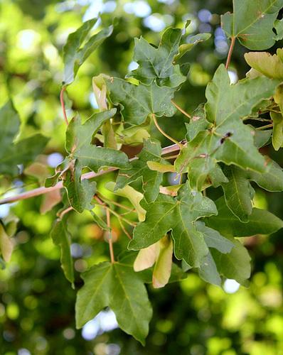 Acer campestre - érable champêtre 3272