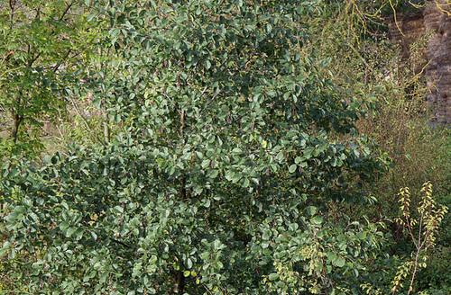 Alnus glutinosa et cultivars - aulne glutineux 3274