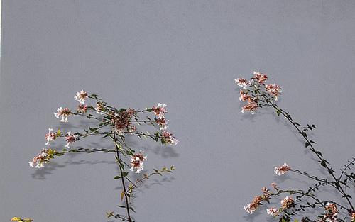 Abelia x grandiflora 3275